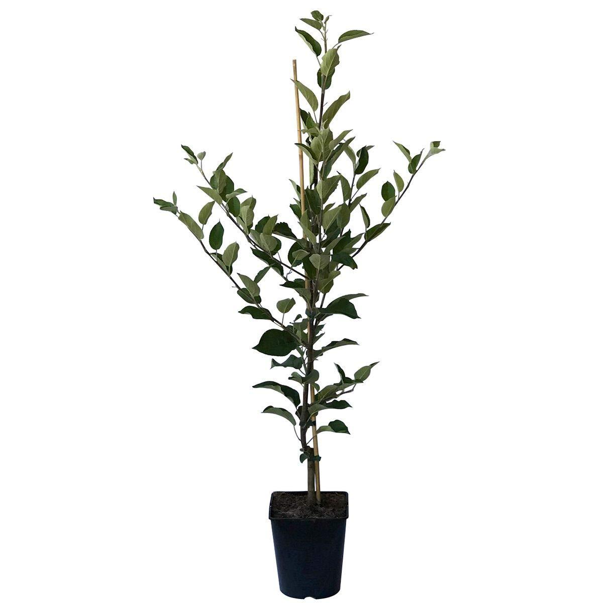 Apfelbaum Granny Smith Compact Spindelbaum 100-120 cm im 5 Liter Topf  M9
