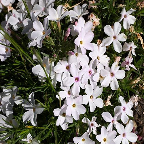 (Outsidepride Phlox Mountain - 5000 Seeds)