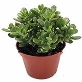 "Jade Plant - Crassula ovuta - Easy to Grow - 4"" Pot"