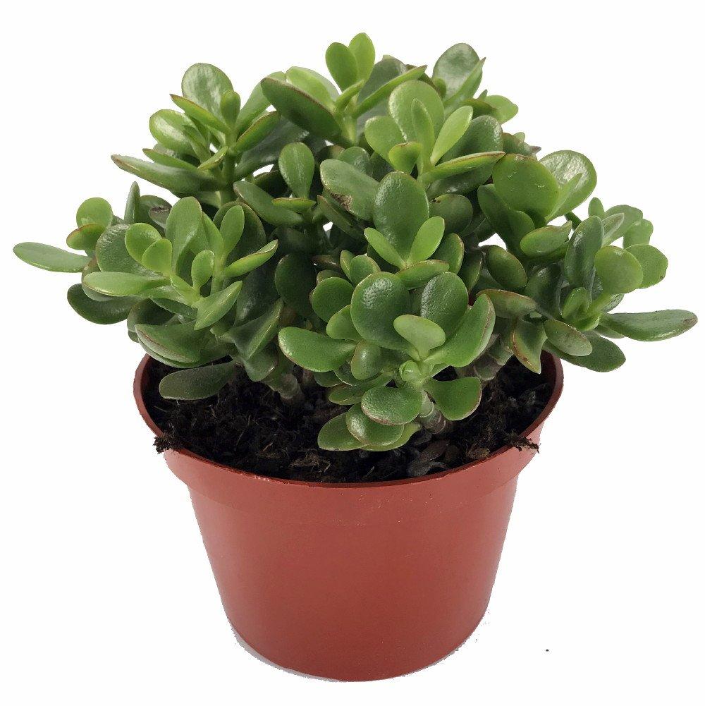 Amazon Com Rare Zz Plant Zamioculcas Zamiifolia Easy