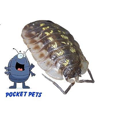 Pocket Pets Live Yellow Poke-A-Dot Bugkini Roly Polys! 5 Yellow Poke-A-Dot Bugkini Rolie Polie Isopods: Toys & Games