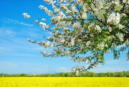 Native Apple Tree 20 Seeds - Be Johnny Appleseed -Malus