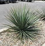Dasylirion Texanum Seeds - Sotol Succulent Shrub
