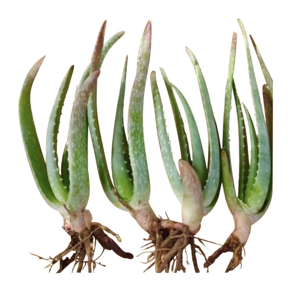 RAGARDEN Baby Aloe Vera Plants (4 Plants in Package, Size 6''-12'' Height, Bare- Rooted). Grown in Nevada,USA.