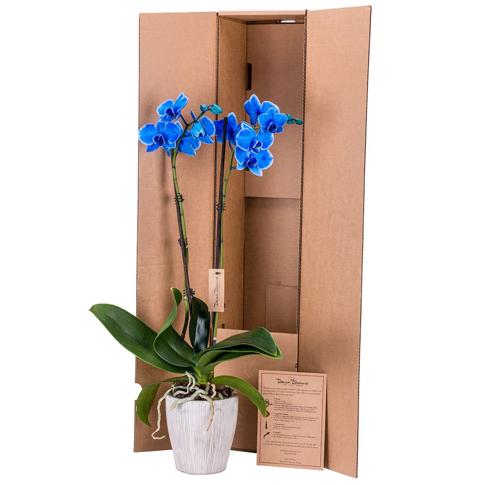DecoBlooms Living Blue Orchid Plant - 5 inch Blooms - Fresh Flowering Home Décor by Unknown (Image #2)