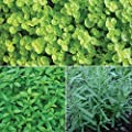 Burpee Golden Rum' Herb Collection (French Tarragon, Pineapple Mint & Golden Oregano), 3 Live Plants 2 1/2 Inch Pot