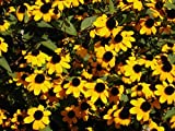 "Brown Eyed Susan""Rudbeckia Triloba"" 200 Seeds"