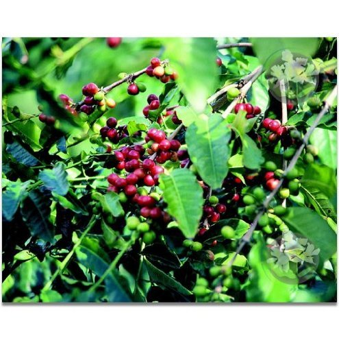 Kona Coffee Starter Plants Hawaiian – 4 Pack #F4 by Discount Hawaiian Gifts