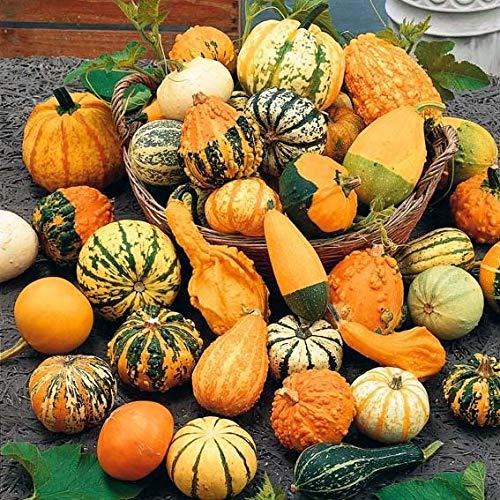 Caiuet Garden-10 Pcs Rare Ornamental Gourd Seeds Rare Pumpkin Seed Crown Mix Ornamental Gourd Seeds Organic Vegetable Seeds Giant Squash Ornamental Plants Fast Growing for Garden Fences Pergolas]()