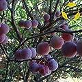10 Seeds Beach Plum Prunus (maritima) Fruit Tree