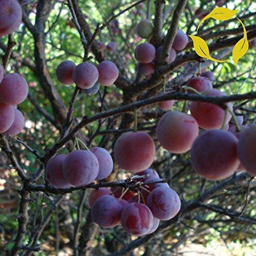 Dune Plum (10 Seeds Beach Plum Prunus (maritima) Fruit Tree)