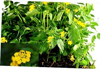 Amazoncom Carla Plant 6 12 Inches Tall Gold Lantana Live Plant