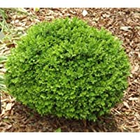 True Dwarf English Boxwood - Live Plant - Starter Plug (LG)