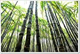 Sugarcane Plants Grow In Field Paper Print Wall Art (28in. x 42in.)