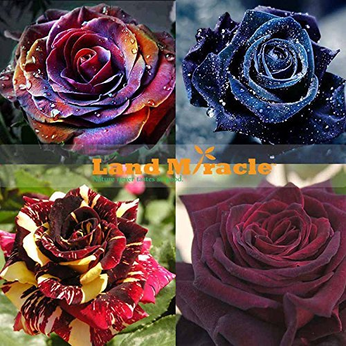 4 PACKS EACH COLOR 30 SEEDS-CHINESE ROSE SEEDS - Rainbow-Black Dragon-Blood-Blue Rose Seeds, Flower Rose Bonsai for Indoor Plant