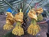 Barhi Date Palm Phoenix dactylifera Fruit Palm Seedling Live Plant USA