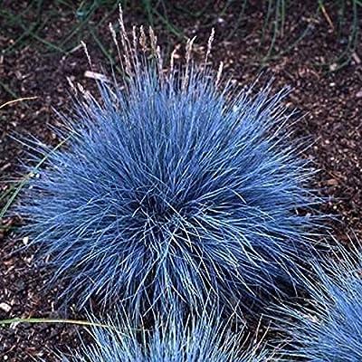 Kasuki 100Pcs Blue Fescue Grass Seeds Perennial Hardy Ornamental Grass Home Garden : Garden & Outdoor