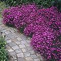 """-Bulk- MAIDEN PINK Brilliancy """"Dianthus"""" 350+Perennial Groundcower Seeds"""