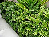 "9EzTropical - Philodendron Xanadu - 2 Plants - 1 Feet Tall - Ship in 4"" Pot"