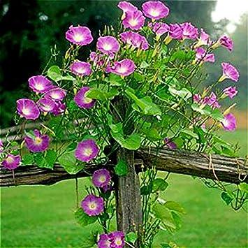 Amazon com : 50pcs/bag Blue Morning Glory seeds rare petunia seeds