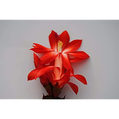 1 Pcs Boom Schlumbergera Zygo Christmas Cactus Plant Healthy Well Rooted Starter Plant Indoor Christmas Cactus Plant #DSH2 : Garden & Outdoor