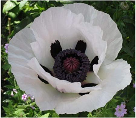Türkischer Mohn Royal Wedding Papaver orientale
