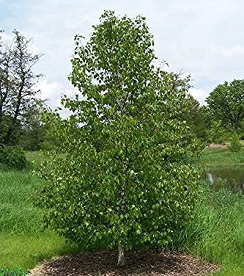 Japanese White Birch, Betula platyphylla japonica Whitespire, Tree Seeds (Fast) 50