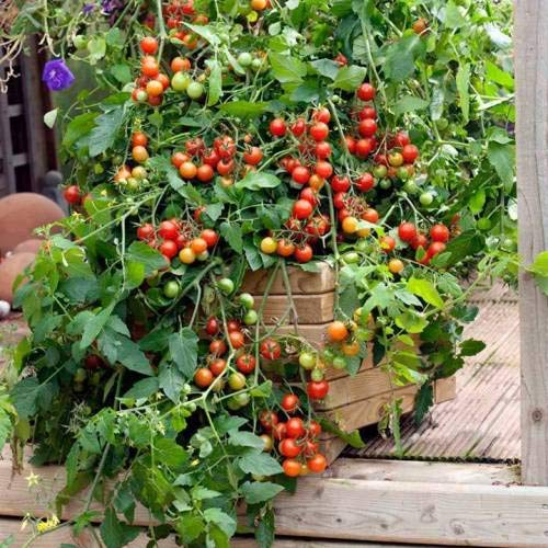 potted tomato seeds - 3