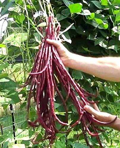 (Red Yardlong Bean Seeds Asparagus Noodle Yard Long Pole Variety bin66 (160 Seeds, or 1 Ounce))