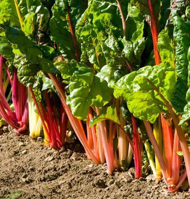 David's Garden Seeds Swiss Chard Bright Lights D703A (Multi Colors) 200 Open Pollinated Seeds