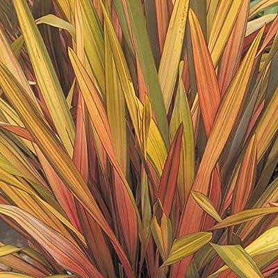 30 PHORMIUM SEEDS New Zealand Flax RAINBOW STRIPED HYBRIDS, Ornamental Grass : Garden & Outdoor