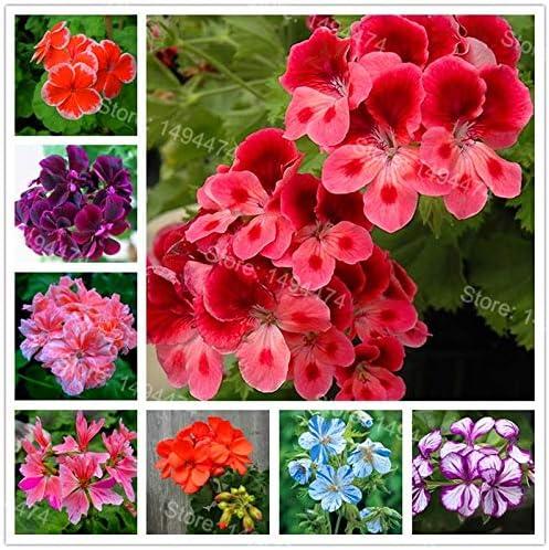 Sump frescas 200pcs semillas de flores para plantar geranios de ...