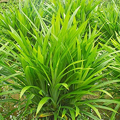 Lysee 50Pcs/Bag Fragrant Grass Seeds Annual Pandan Flower Potted Seeds Fragrant Spices DIY Home Garden Bonsai Plant Seeds : Garden & Outdoor