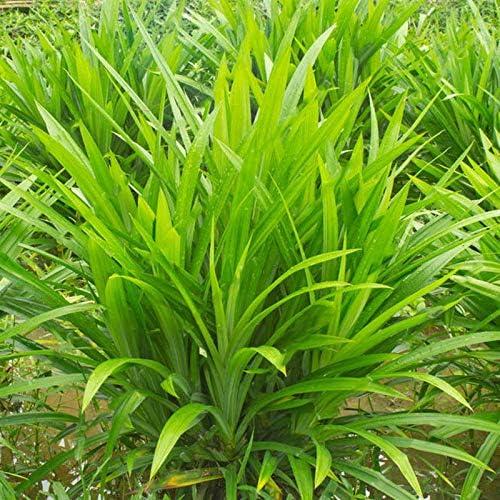 EgBert 50Pcs/Bag Duftgrass Grass Samen jährlich Pandan Blumenkarten Duftkäppchen Kindergartenplätze DIY Home Garden Bonsai Pflanzensamen