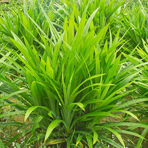- Kasuki 50Pcs/Bag Fragrant Grass Seeds Annual Pandan Flower Potted Seeds Fragrant Spices DIY Home Garden Bonsai Plant Seeds