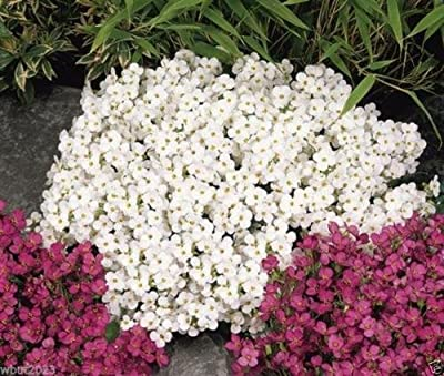 2000 Rock Cress, White - Wall Rock Cress - Covers Approx 40 square feet