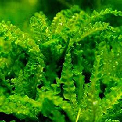 HOTUEEN 100pcs Aquarium Grass Plant Seeds Water Aquatic for Home Fish Tank Aquatic Plants : Garden & Outdoor
