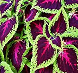 1,000 x Coleus blumei Rainbow Mix FLOWER SEEDS - BRIGHT LIVELY COLORS - spirit of victorian garden - By MySeeds.Co