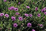 10 Seeds Scabiosa dumetorum Canary Shrub Scabiosa Plant