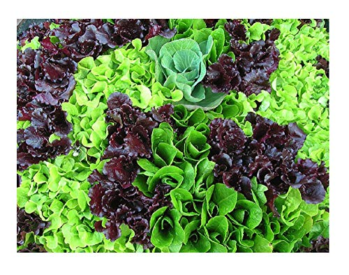 David's Garden Seeds Lettuce Mesclun Mix T132PO (Green) 500 Organic Heirloom Seeds