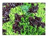 David's Garden Seeds Lettuce Mix Mesclun SL3223