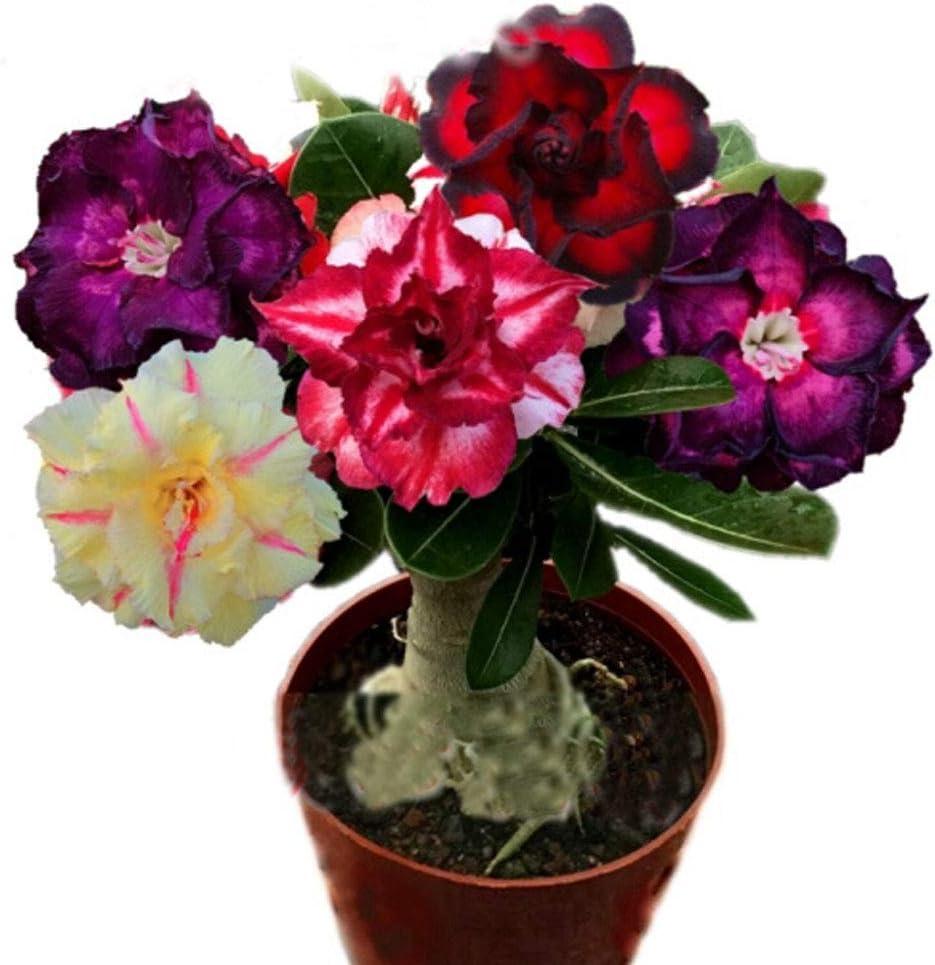 QHYDZ Garden-100pcs Semillas Flores Rosa del Desierto Adenium obesum, Rara Perenne Resisten a la Sequía Planta Ornamental para Maceta Jardin Balcon