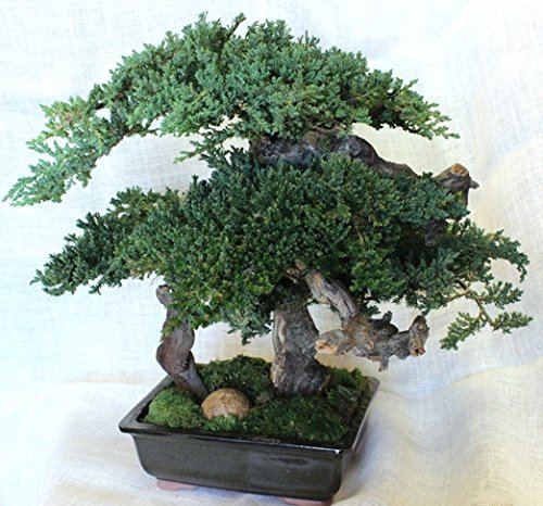 Large Monterey Bonsai by Forevergreen