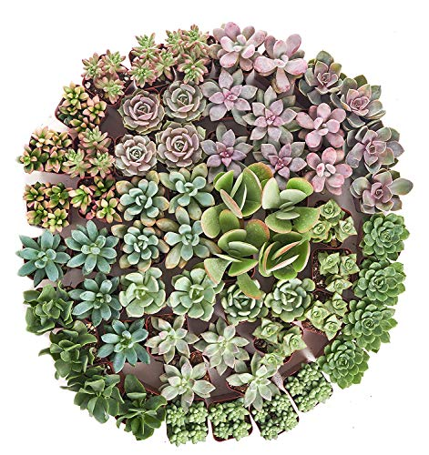Shop Succulents| Premium Pastel Collection of LiveSucculent Plants, Hand Selected Variety Pack of Mini Succulents | Collection of 140 in 2'' pots by Shop Succulents (Image #2)