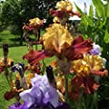 Fragrant Iris Cloud Ballet - Large Bulbs- Blooms Twice in One Year Easy to Plant