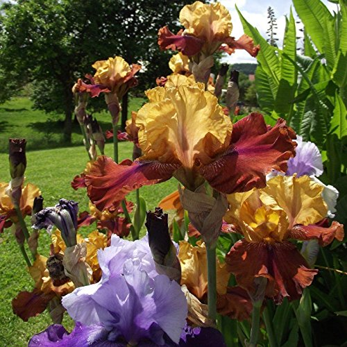 Iris Rhizomes - Fragrant Bearded Mixed Color,Iris Cloud Ballet - Large Rhizome - Blooms Twice in One Year,10 Bulbs, Easy to Grow
