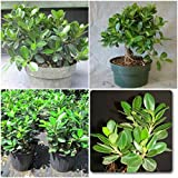 2 GREEN ISLAND FICUS PLANTS ~ FICUS MICROCARPA 5'' TO 8'' TALL INDOOR OR OUTDOOR