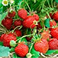 Premier Seeds Direct FO-ZJS2-3XAA Strawberry Four Seasons Seeds (Pack of 200)