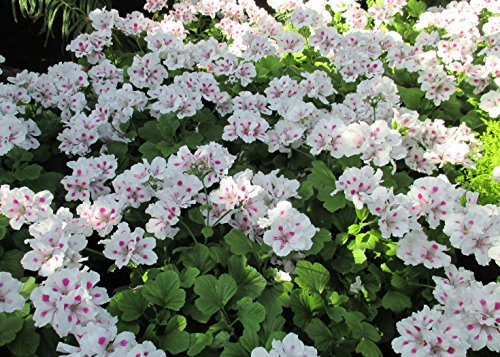 Regal Geranium is a genus of flowering plants which includes about 200 species of perennials.: Pelargonium