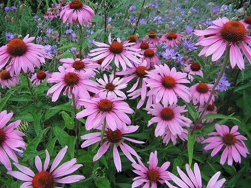 Purple Coneflower Perennial-70 Seeds, 500 mg-Echinacea